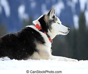 siberian husky, chien, reposer