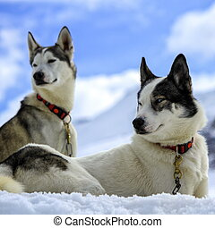 siberian husky, chiens, portrait