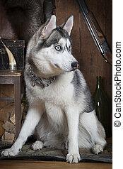 Siberian Husky dog indoors