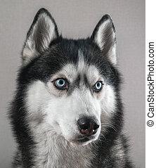 Siberian husky dog isolated on gray. Portrait dog with blue eyes.