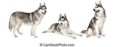 Siberian Husky dog over white - Photo collage of Siberian...