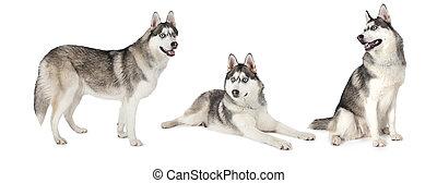 Siberian Husky dog over white - Photo collage of Siberian...