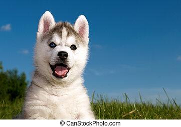 siberian husky, dog, puppy