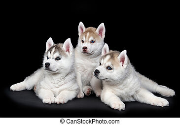 Siberian husky dog puppy - three Little cute puppy of...