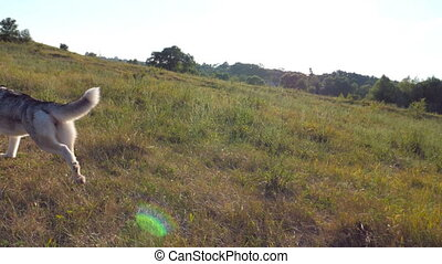 Siberian husky dog running fast along green grass at field on sunny day. Follow to young cute pet jogging at summer field. Beautiful nature at background. Close up Slow motion Rear view