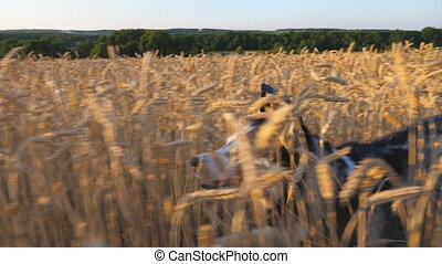Siberian husky dog running fast through tall spikelets in the meadow to her female owner at sunset. Young domestic animal jogging on golden wheat field at summer day. Close up Side view Slow motion