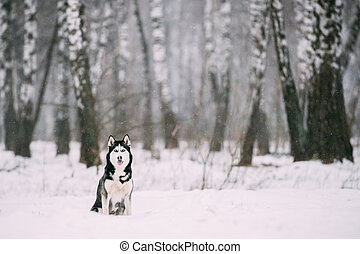 Siberian Husky Dog Sitting Outdoor In Snowy Field At Winter Day