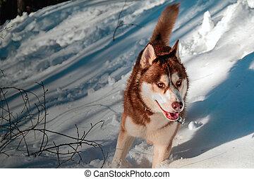 Siberian husky dog standing in