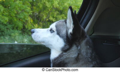 Siberian husky dog sticking her nose out from the window of...