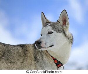Siberian husky dog turning head back