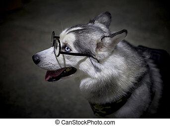 Siberian Husky dog wearing glasses.
