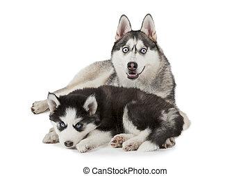 Siberian Husky dog with puppy