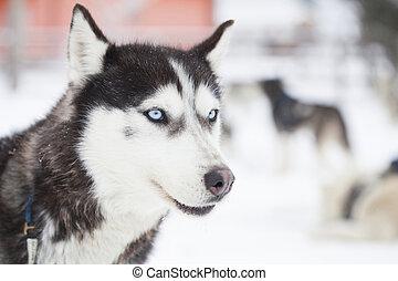 Siberian Husky dogs in the snow
