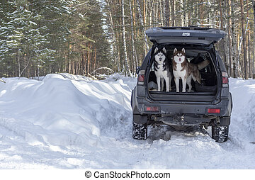 Siberian husky dogs jump out of the trunk of the car. Pets in the winter forest.