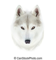 siberian husky face isolated on white background