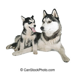 Siberian Husky Father and Son