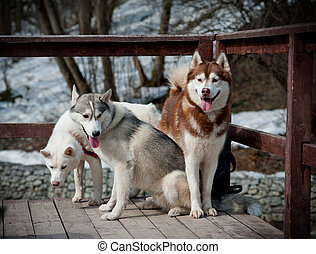 Siberian Husky group on a bridge