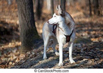 siberian husky in autumn forest