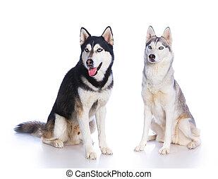 Siberian husky in studio - Two Siberian huskies sitting on a...