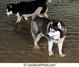 Siberian husky in the water