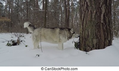 Husky in the winter forest.