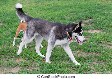 Siberian husky is walking on green grass in the park. Pet animals.