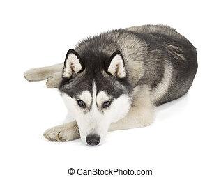 Siberian Husky isolated on white background