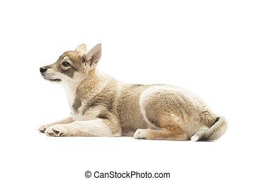 Siberian Husky lies on a white background