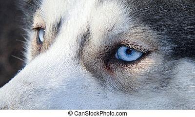 siberian husky pet dog love sexy close up blue eyes