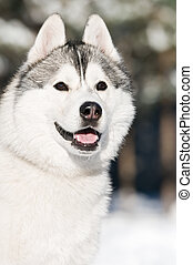 Siberian husky portrait at winter - Portrait of adorable...
