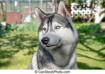Siberian Husky. Portrait of a happy dog
