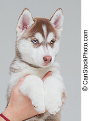 Siberian Husky Puppy 2 month old alone