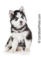 Siberian Husky puppy dog