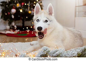 Siberian husky puppy dog licking its nose with tongue celebrating holidays under christmas tree lights.
