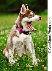 Siberian husky puppy dog one month old on green grass