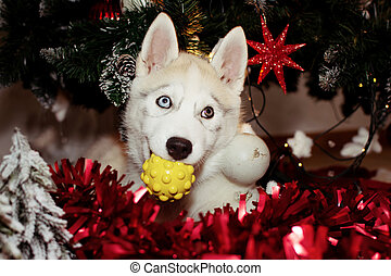 Siberian husky puppy dog playing below christmas tree with a toy.