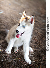 Siberian Husky Puppy dog sitting on the ground in vintage color tone