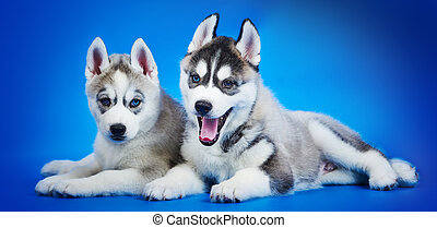Siberian Husky puppy group - Two small siberian husky puppy...