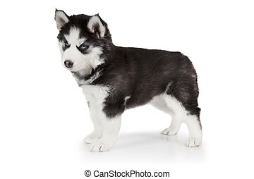 Siberian Husky puppy over white