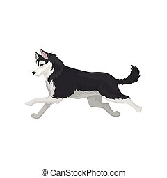 Siberian Husky running, black and white fluffy purebred dog vector Illustration on a white background