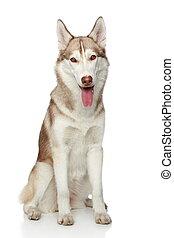 Siberian husky sitting on a white background