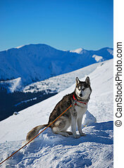 Siberian husky sitting on the snow