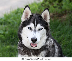 Siberian Husky Smiling