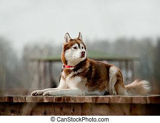 husky - siberian husky