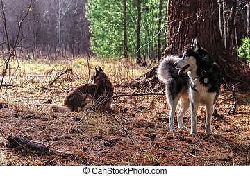 Siberian husky walking in the
