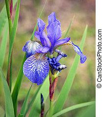Siberian Iris - Close-up of purple Siberian iris