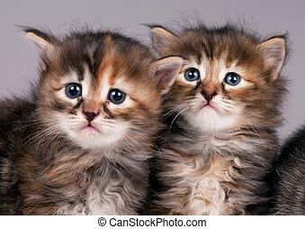 Siberian kittens - Cautious cute siberian kittens over grey...