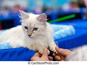 Siberian longhair cat with blue eyes. Kitten breed Neva Masquerade.
