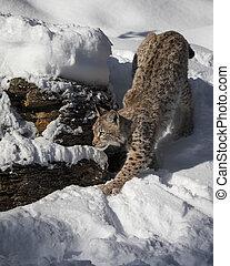 Siberian Lynx Cub