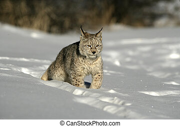 Siberian lynx, Lynx lynx